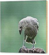 Brown-headed Cowbird Wood Print