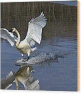 Trumpeter Swan Wood Print