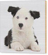 Border Collie Puppy Wood Print