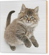 Maine Coon Kitten Wood Print