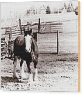 1900  Clydesdale Horse Wood Print