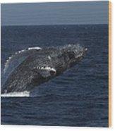 A Breaching Humpback Whale Wood Print