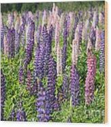 A Field Of Lupins Wood Print