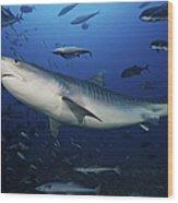 A Large 10 Foot Tiger Shark Swims Wood Print