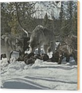 A Pack Of Gray Wolves, Canis Lupus Wood Print