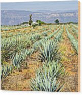 Agave Cactus Field In Mexico Wood Print