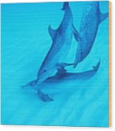 Atlantic Spotted Dolphins Wood Print