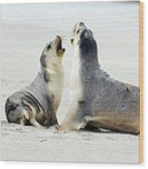 Australian Sea Lions Wood Print