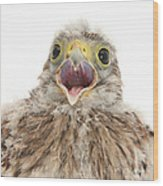 Baby Kestrel Wood Print