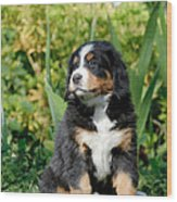 Bernese Mountain Dog Puppy  Portrait Wood Print