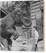 Bill Snyder, Elephant Trainer Wood Print by Everett