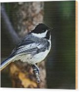 Blackcapped Chickadee Wood Print
