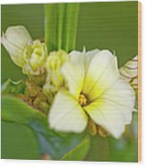 Blue-eyed Grass (sisyrinchium Striatum) Wood Print