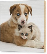 Border Collie And Birman-cross Kitten Wood Print