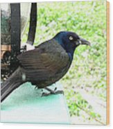 Brewers Black Bird Wood Print