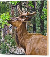 Browsing Elk In The Grand Canyon Wood Print