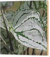 Caladium Named White Christmas Wood Print