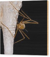 Chinese Cave Cricket Wood Print