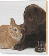 Chocolate Labrador Pup Wood Print