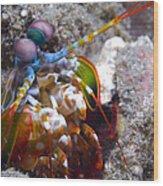 Close-up View Of A Mantis Shrimp, Papua Wood Print