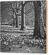 Daffodils In St. James's Park Wood Print