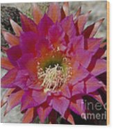 Dark Pink Cactus Flower Wood Print