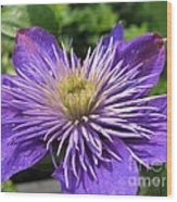 Double Clematis Named Crystal Fountain Wood Print
