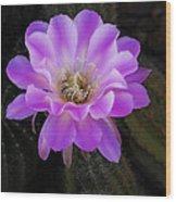 Echinopsis Aurea  Wood Print