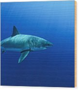 Female Great White Shark, Guadalupe Wood Print