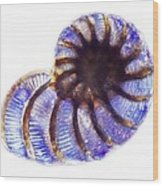 Foraminiferan, Light Micrograph Wood Print by Frank Fox
