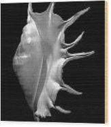 Giant Spider Conch Seashell Lambis Truncata Wood Print