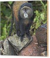 Golden Monkey Wood Print
