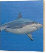 Gray Reef Shark. Papua New Guinea Wood Print