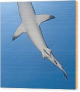 Gray Reef Shark With Remora, Papua New Wood Print