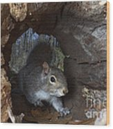 Gray Squirrel Wood Print by Ted Kinsman