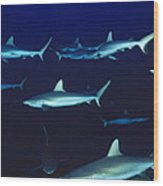 Grey Reef Sharks Wood Print