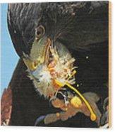Harris Hawk Feeding Wood Print