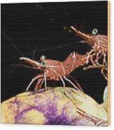 Hingebeak Shrimp On A Seasquirt Wood Print