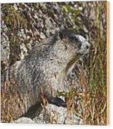 Hoary Marmot Wood Print