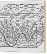 Illustration Of Stratified Squamous Wood Print