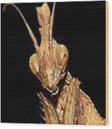 Indian Rose Mantis Wood Print