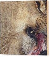 Lion Feeding Wood Print