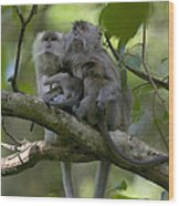 Long-tailed Macaque Macaca Fascicularis Wood Print by Cyril Ruoso