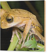 Marsupial Frog Wood Print