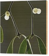 Mistletoe (viscum Album) Wood Print