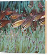 Moluccan Cardinalfish Wood Print
