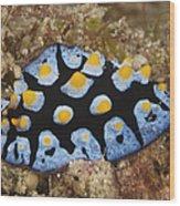 Nudibranch Feeding On Algae, Papua New Wood Print