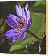 Nymphaea 'panama Pacific' Wood Print