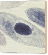 Paramecium Caudatum Wood Print