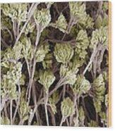Penicillium Fungus, Sem Wood Print